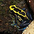 Amphibiens de guyane