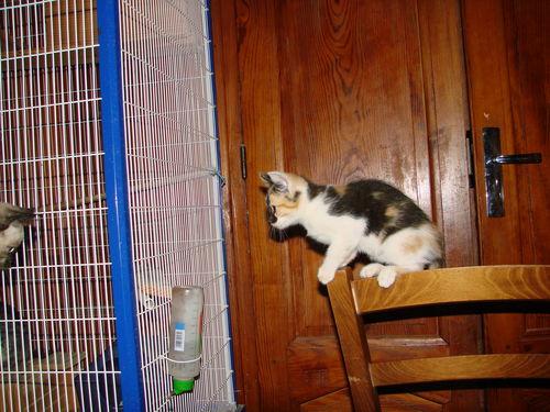 2008 05 21 Un petit chaton de Papillon qui surveille le Chinchilla dans sa cage