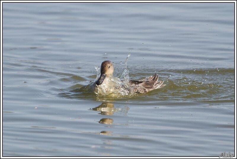 Canard pilet au bain