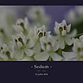 Sedum_macro