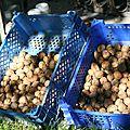 Début des récoltes de noix