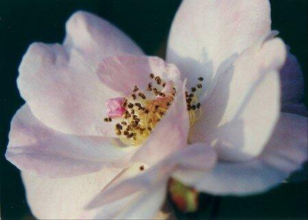 rose_simple1
