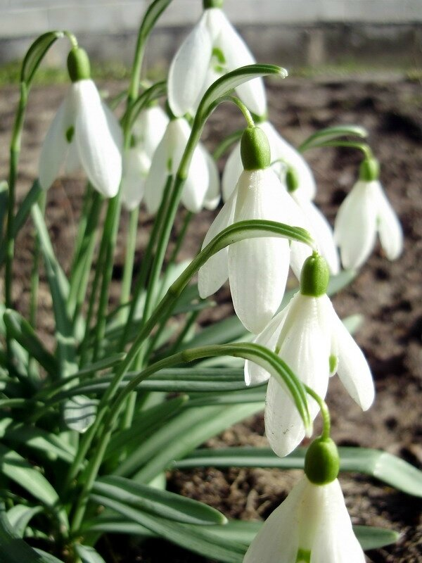 Photo-Galanthus_nivalis_1