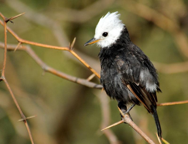 Moucherolle t te blanche arundinicola leucocephala for Houpette oiseau