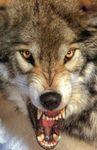 wolf2il9