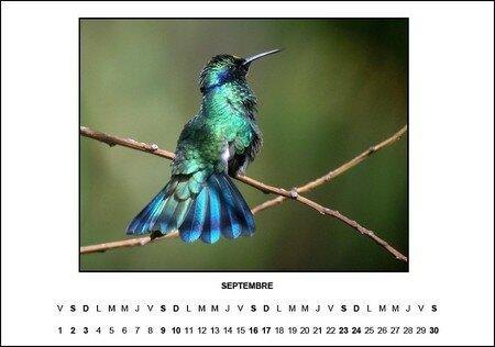 colibri_coruscans
