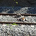 Les pattes attachées aux rails, un pauvre chien a été coupé en deux par le train .. peipin (04) le 30 août 2016