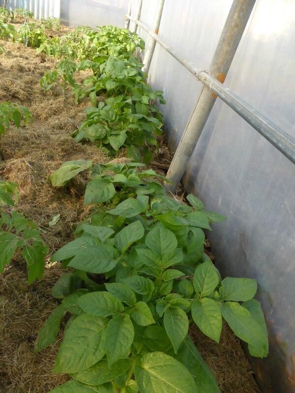 8-pommes de terre (2)