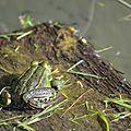Classe : Batraciens ou Amphibiens