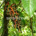 arenal_rando cerro chato_fruit palmier