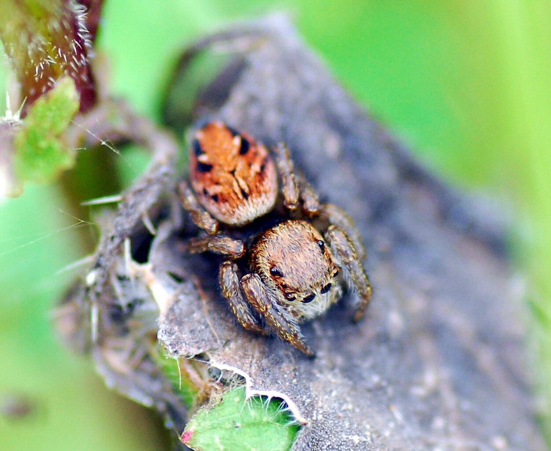 Evarcha arcuata (L'Araignée sauteuse) (F)
