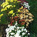 Chrysanthèmes (1)