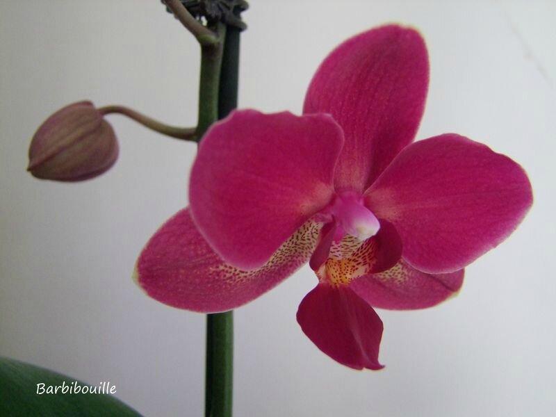 orchidée6 juil14