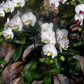 CHIANG MAI - jardin d'orchidées
