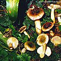Russula_omiensis0004
