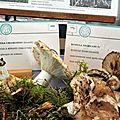 Russula nigricans et chloroides