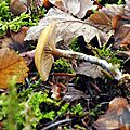 Galerina marginata (5)