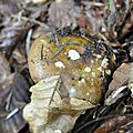 Russula sp (9)