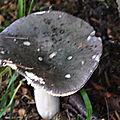 Russula xyanoxantha (1)