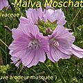 23 Malva Moschata