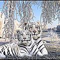 tigres blancs
