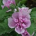 X alcalthaea suffrutescens 'parkrondell'