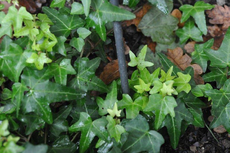 lierre sagittifolia