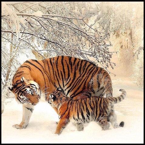 tigre et tigreau