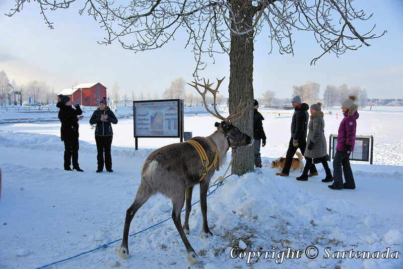 reindeer_rides_for_families_oulu_-33