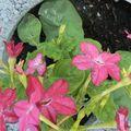 fleurs du jardin 07 06 2010 035
