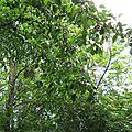 LE MERISIER ou Cerisier sauvage