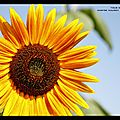 Les tournesols (jewels)