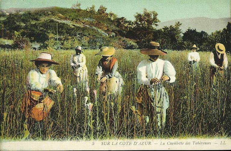 Cueillette des tubéreuses
