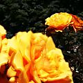 IMG_0506R3_Coloma rose