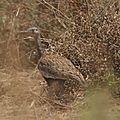 Outarde naine (Eupodotis ruficrista) - Kupferberg Pass Namibie