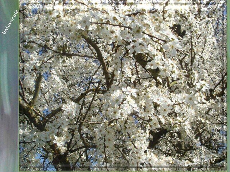 balanicole_2017_02_le printemps des arbustes_04_prunier04