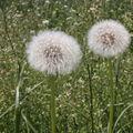 2009 06 04 Fleur de pissenlit en graines (2)