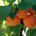 Financiers aux abricots