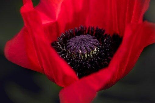 fleurs_coquelicot_poppy_834203__340