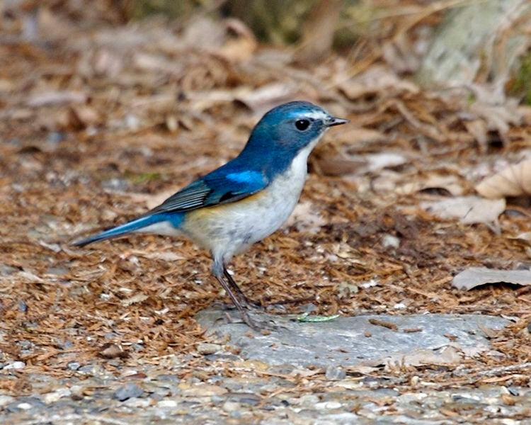 750px-Red-flanked_Bluetail_male_Kyoto_-_Lip_Kee_2