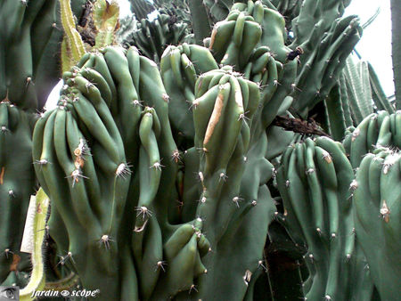 CIMG1464_Cereus