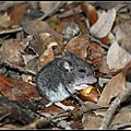 White-footed Mouse, Yosemite Park
