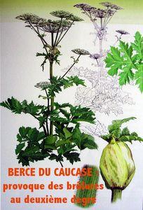 Berce_du_Caucase