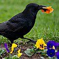 Les corbeaux sont des oiseaux libres
