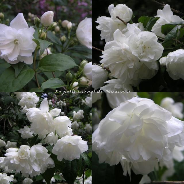 Seringat à fleurs doubles