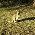 kangourou Katherine (1)