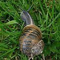 Escargot de compagnie