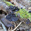 Exidia glandulosa (1)