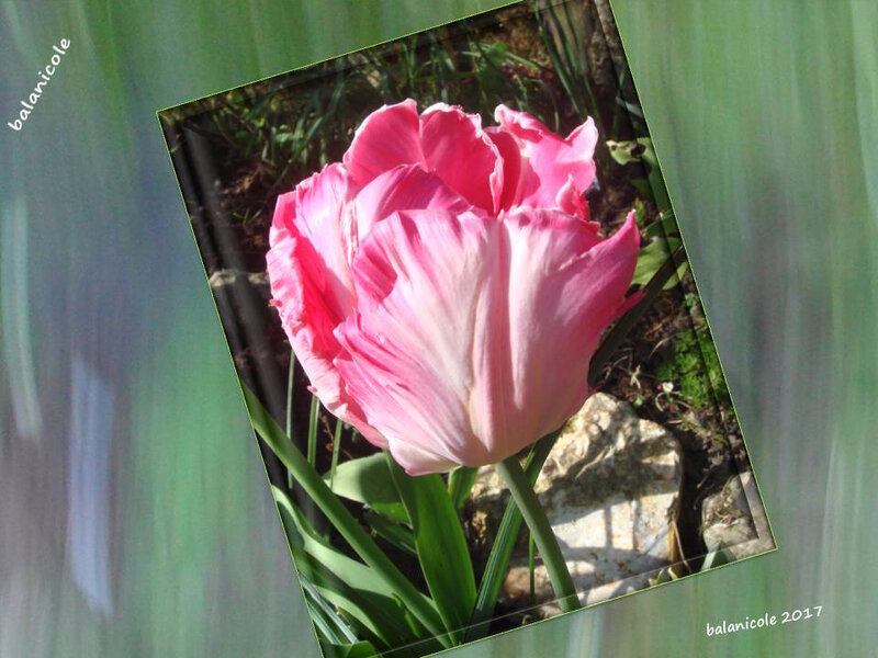 balanicole_2017_05_le printemps des tulipes_29_rose
