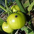 Tomates vertes1